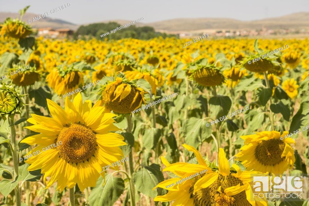 Stock Photo: Sunflower field El Pobo in Teruel Aragon Spain.
