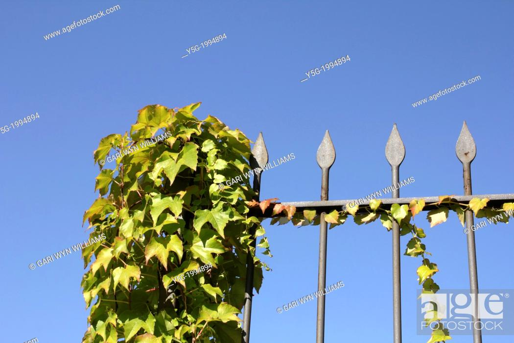Stock Photo: garden fence covered with growing ivy leaves and blue sky.