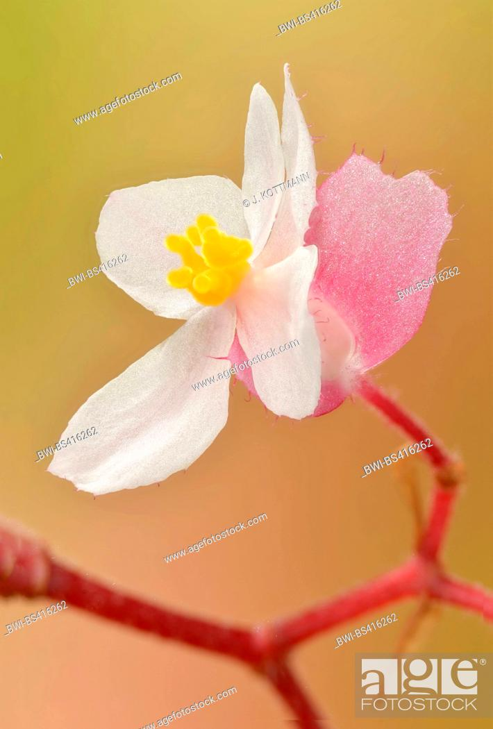 Stock Photo: Begonia (Begonia spec.), female flower with ovary.