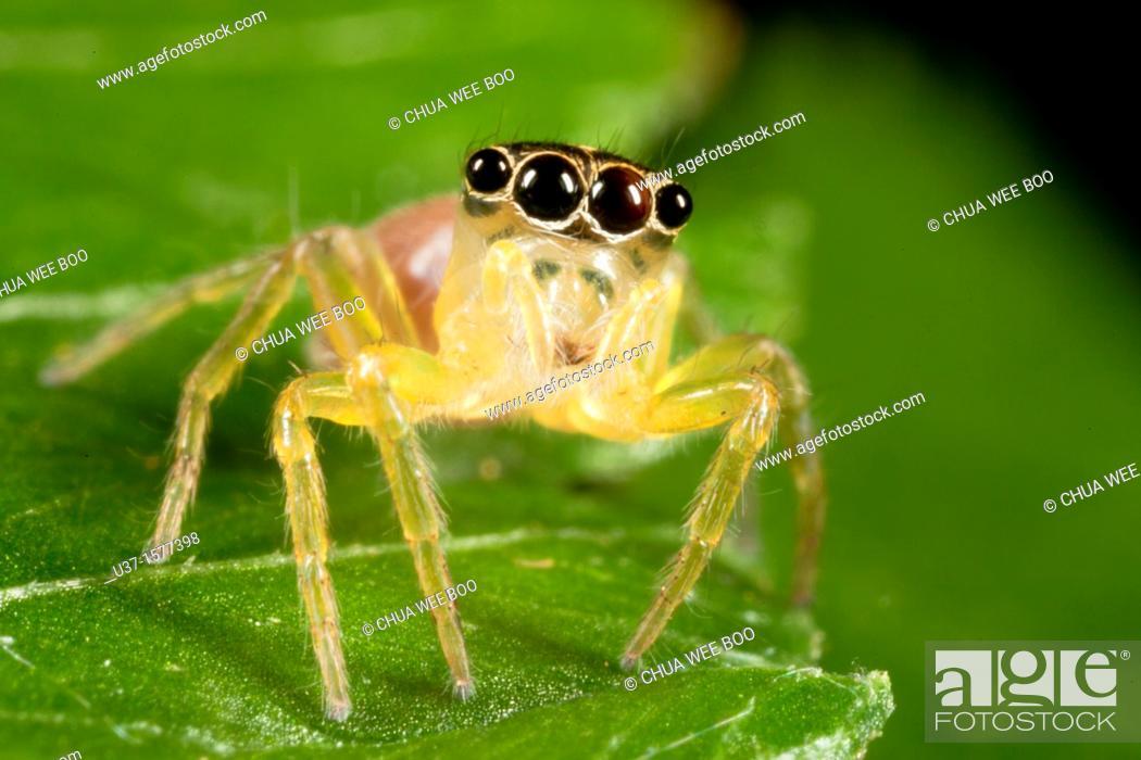 Stock Photo: Jumping spider from Kampung Skudup, Sarawak, Malaysia.