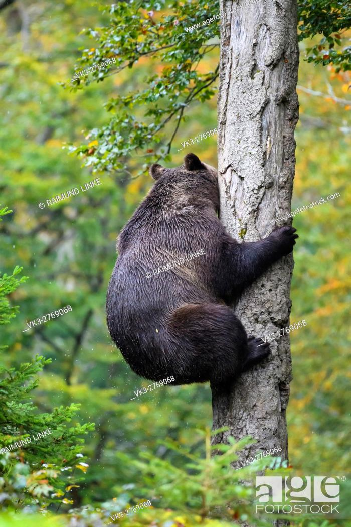 Stock Photo: Brown Bear, Ursus arctos, Climbs on tree, Bavaria, Germany.