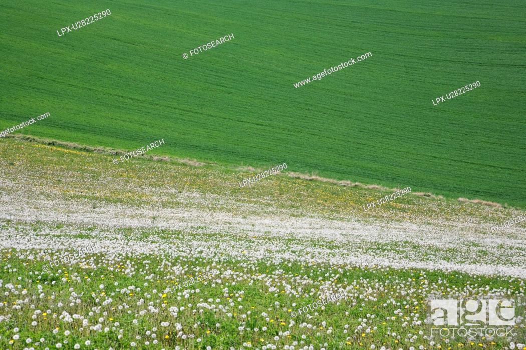 Stock Photo: Field of Dandelions, La region d'Auvergne, France.