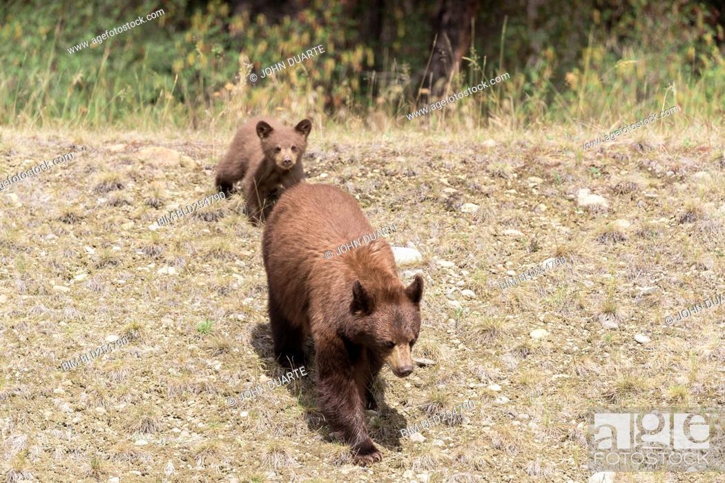 Stock Photo: Bears walking in field.