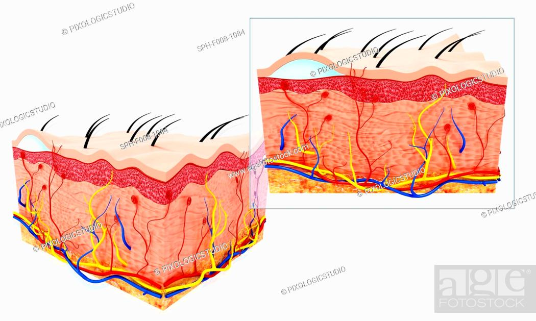 Human Skin Anatomy Computer Artwork Stock Photo Picture And