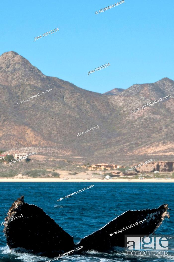 Stock Photo: humpback whale, whale, fluke, tail fin, animal, megaptera novaeangliaecabo pulmo, national marine park, Baja California, Mexico,.