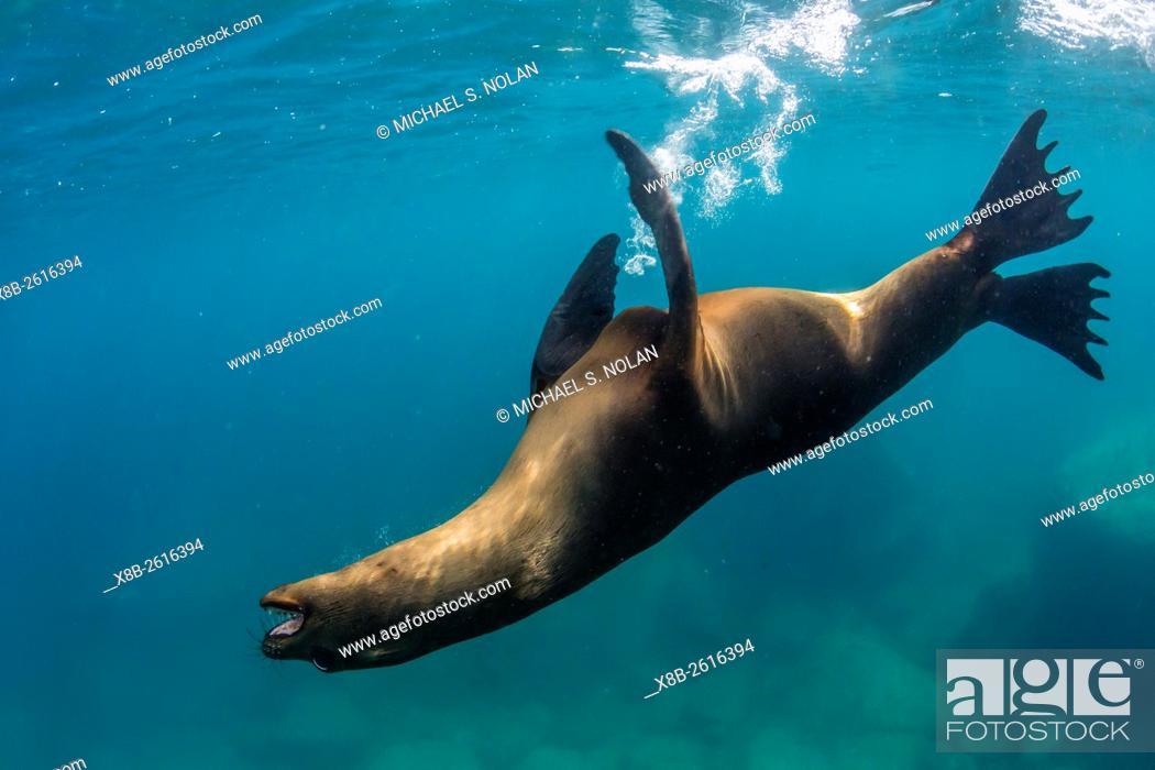 Stock Photo: Adult California sea lion, Zalophus californianus, underwater with snorkeler at Los Islotes, Baja California Sur, Mexico.