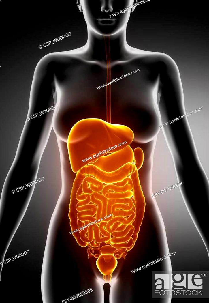 Female Abdominal Organs Stock Photo Picture And Low Budget Royalty