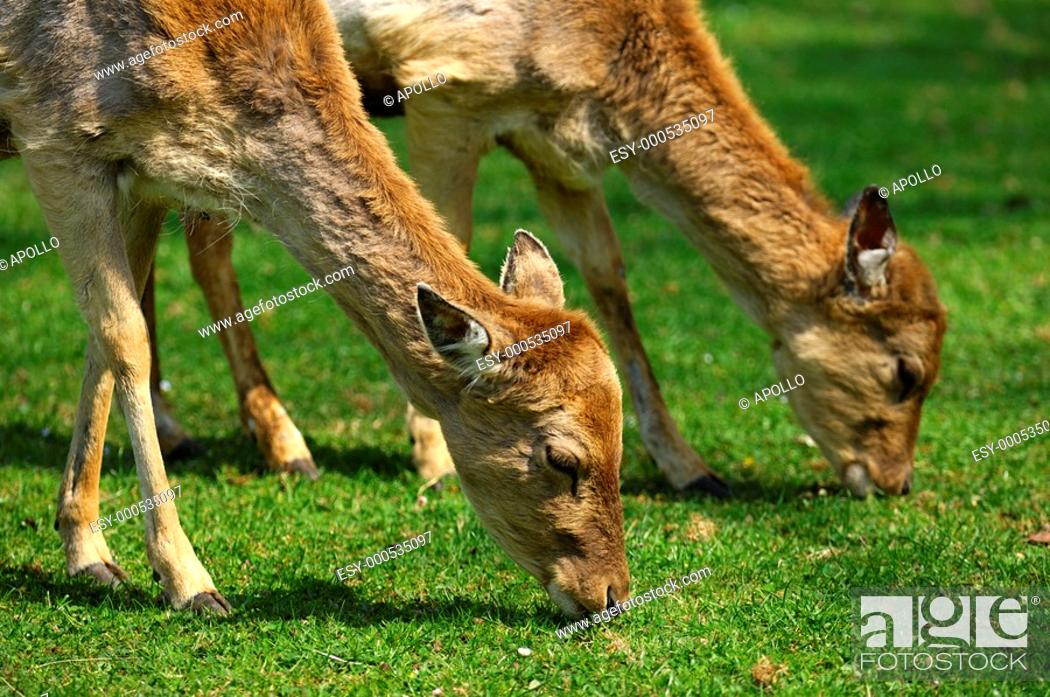 Stock Photo: Browsing female Fallow Deers, Dama dama.