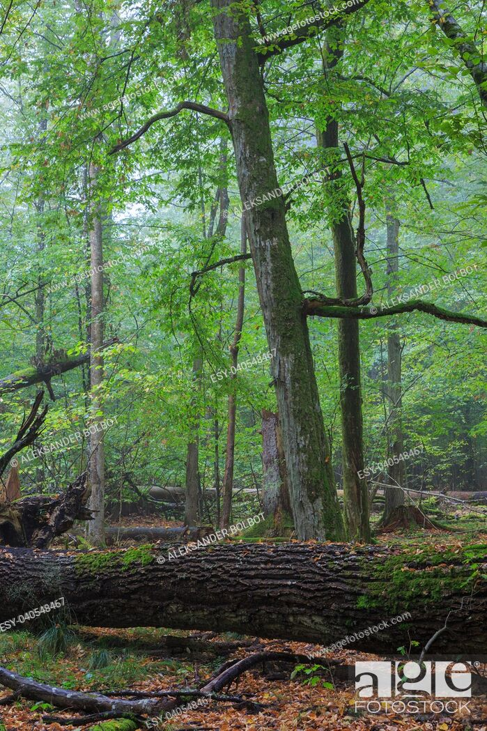 Stock Photo: Fresh deciduous stand in summer with broken old oak and misty mixed forest in background, Bialowieza Forest, Poland, Europe.