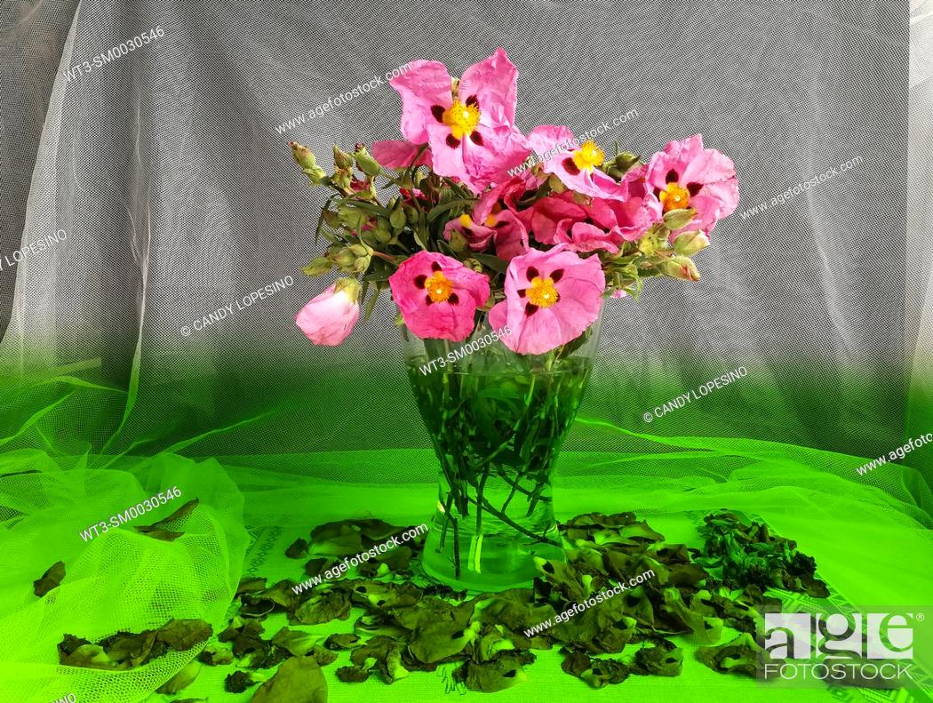 Stock Photo: Glass vase with pink rockrose flowers on a white background and green base.