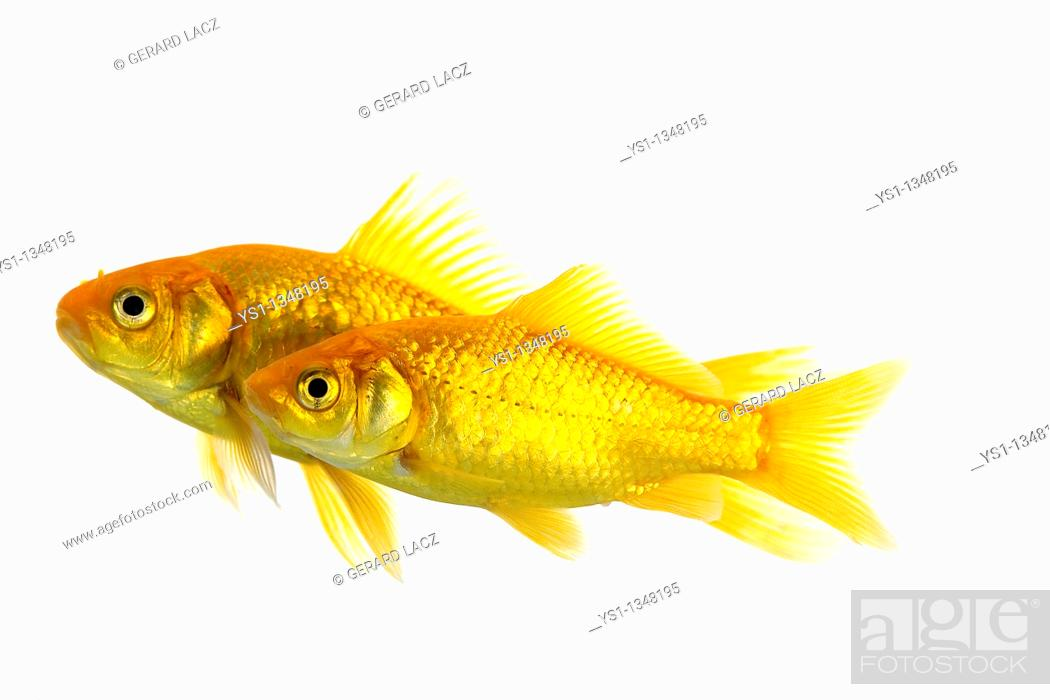 Stock Photo: Goldfish, carassius auratus, Adults Against White Background.