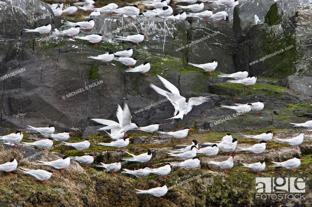 Stock Photo: Adult South American Tern Sterna hirundinacea at breeding colony on offshore islets in the Beagle Channel, South America This is a species of tern in the.