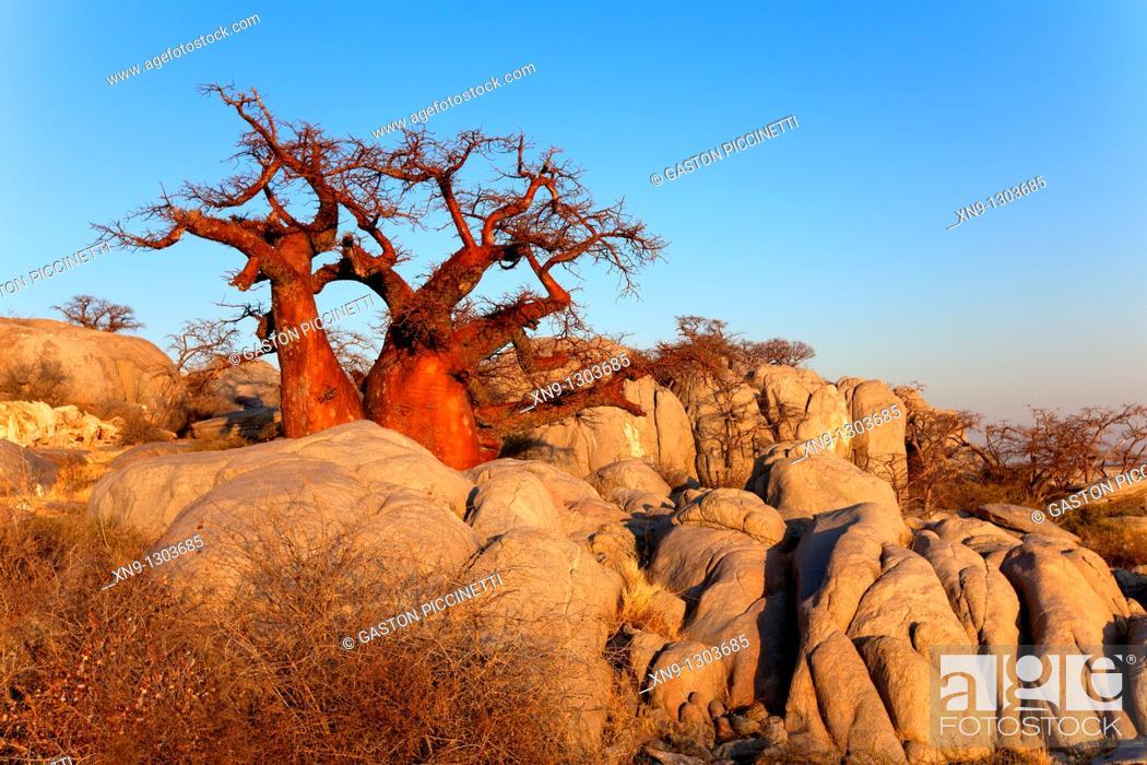 Stock Photo: Baobabs (Adansonia digitata), Kubu Island, in the south west of Sowa pan, Makgadikgadi Pans, Botswana, Africa.