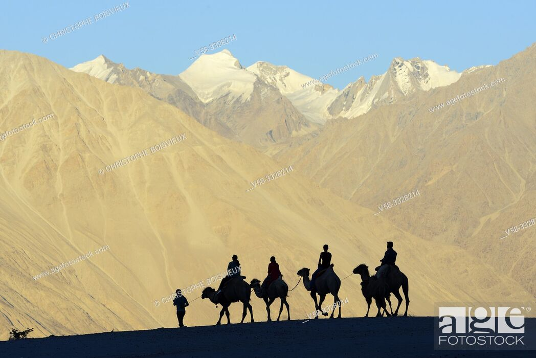 Stock Photo: India, Jammu & Kashmir, Ladakh, Nubra valley, Hundar, Caravan of Bactrian camels at sunset.