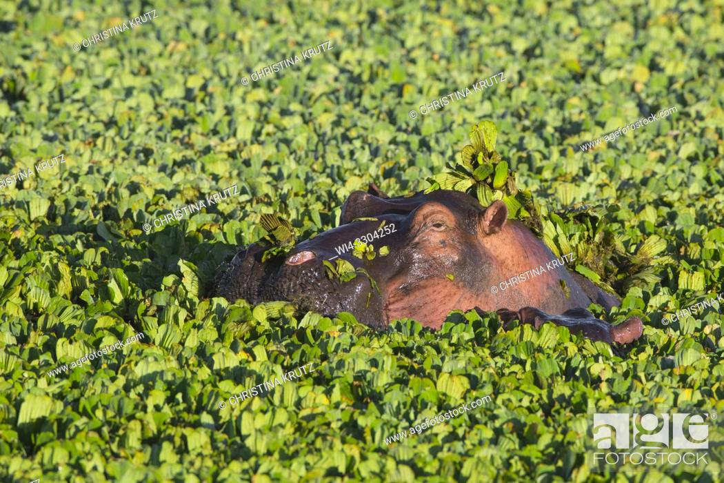 Stock Photo: Wild hippopotamus (Hippopotamus amphibus) in a pond covered with water lettuce, Masai Mara National Reserve, Kenya, Africa.