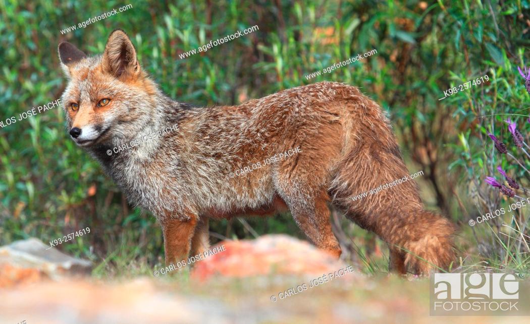 Imagen: Red Fox (Vulpes vulpes). Monfrague National Park, Extremadura, Spain.