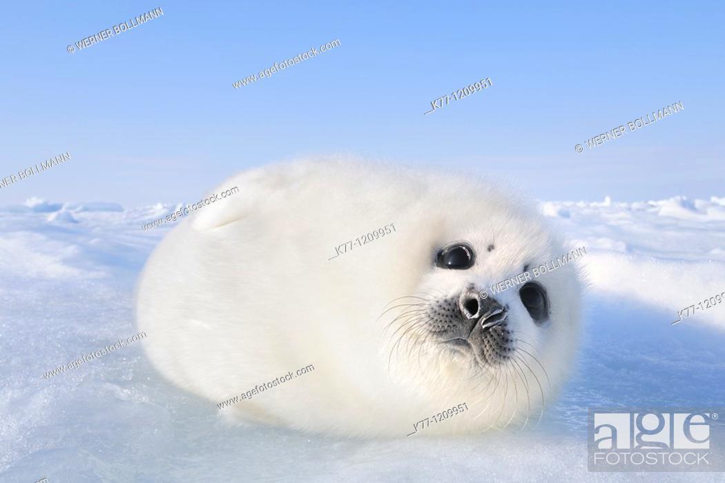 Stock Photo: Harp Seal (Phoca groenlandica), pup, Magdalen Islands, Québec, Canada.