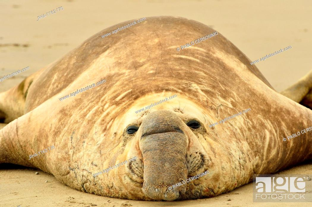 Stock Photo: Southern elephant seal (Mirounga leonina) adult male, Peninsula Valdes, Patagonia, Argentina, South America.