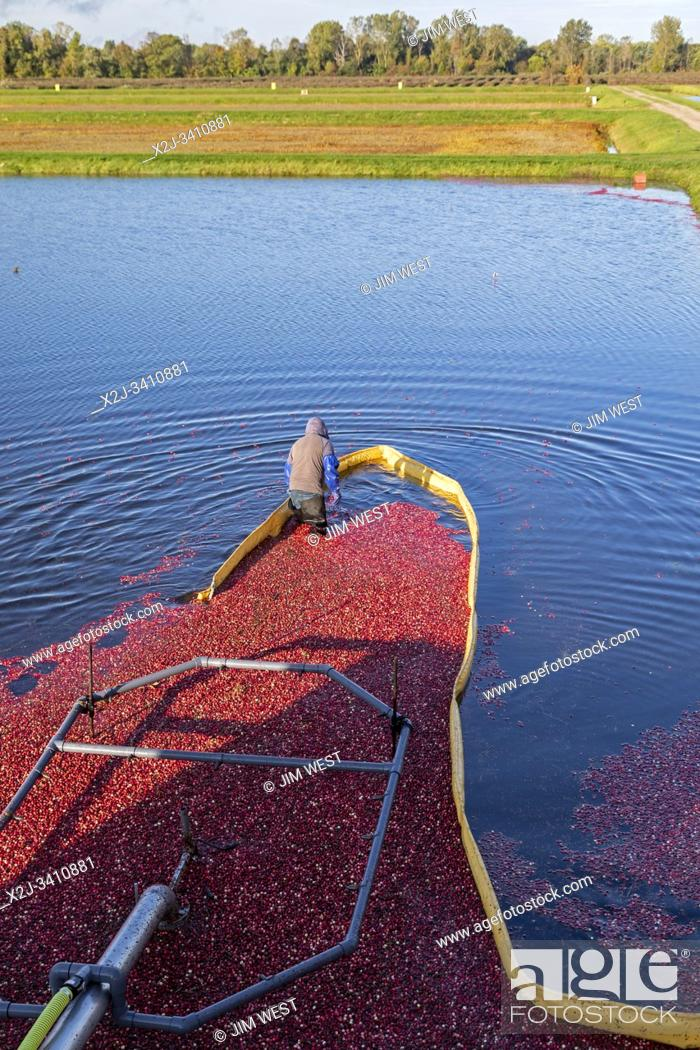 Stock Photo: South Haven, Michigan - Workers harvest cranberries at DeGRandchamp Farms. The cranberry bog is flooded allowing the floating fruit to be collected.