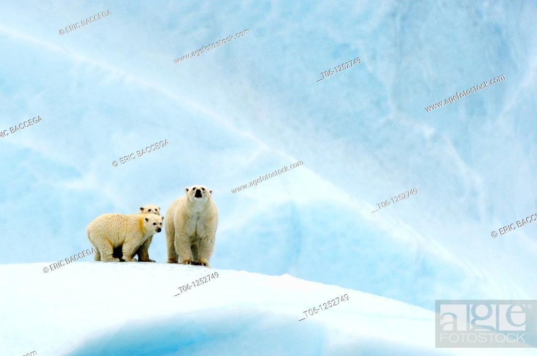 Stock Photo: Female polar bear Ursus maritimus and her two cubs on an iceberg off Baffin Island  Nunavut, Canada.