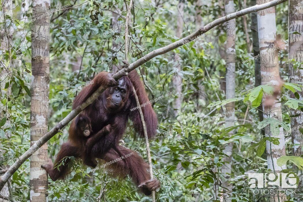 Stock Photo: Mother and baby Bornean orangutan, Pongo pygmaeus, at Camp Leakey, Borneo, Indonesia.