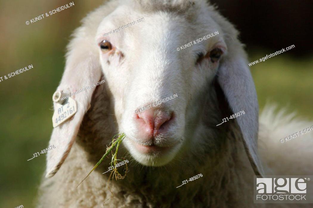 Stock Photo: Sheep, Zirknitztal, Alps, Carinthia, Austria.