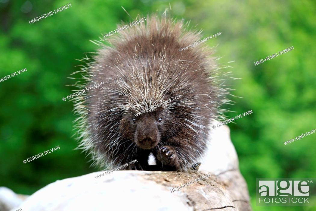 Stock Photo: United States, Minnesota, Porcupine (Erethizon dorsatum),.