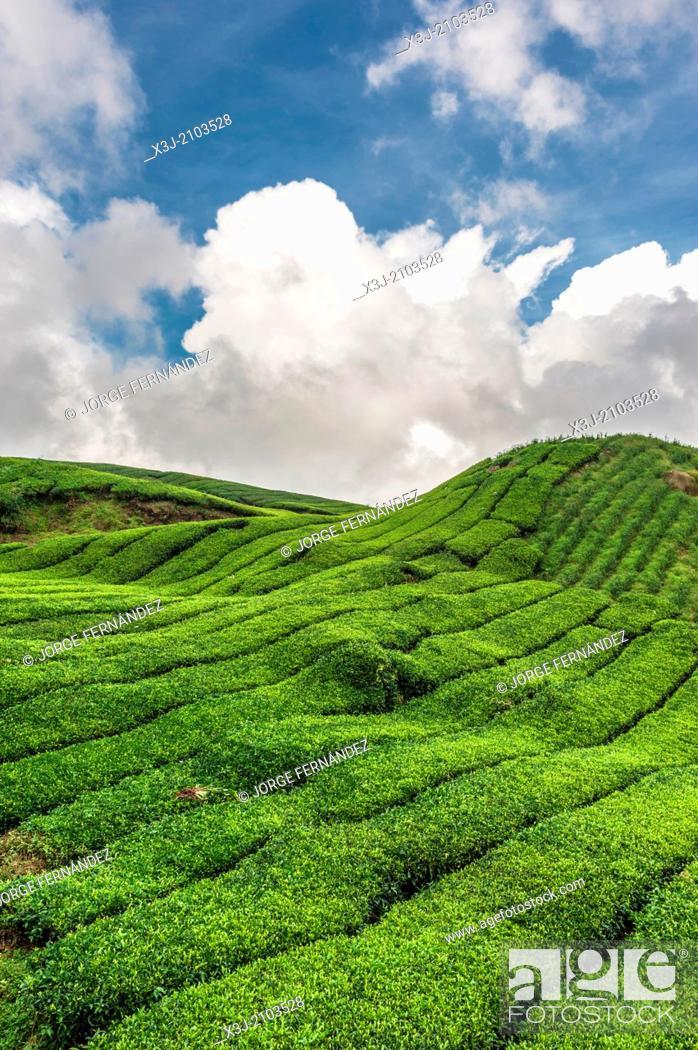 Stock Photo: Tea plantation, Cameron Highlands, Malaysia, Asia.