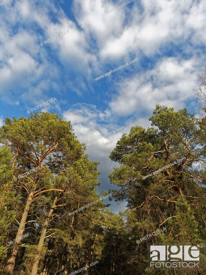Photo de stock: Poland. Early spring. Pine forest, blue sky, white clouds.