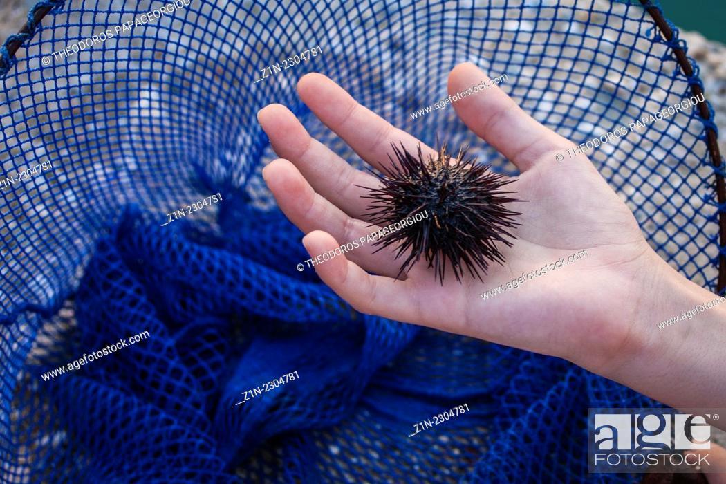 Stock Photo: A child holds a sea urchin, Echinoidea. Astros, Arcadia, Peloponnese, Greece.