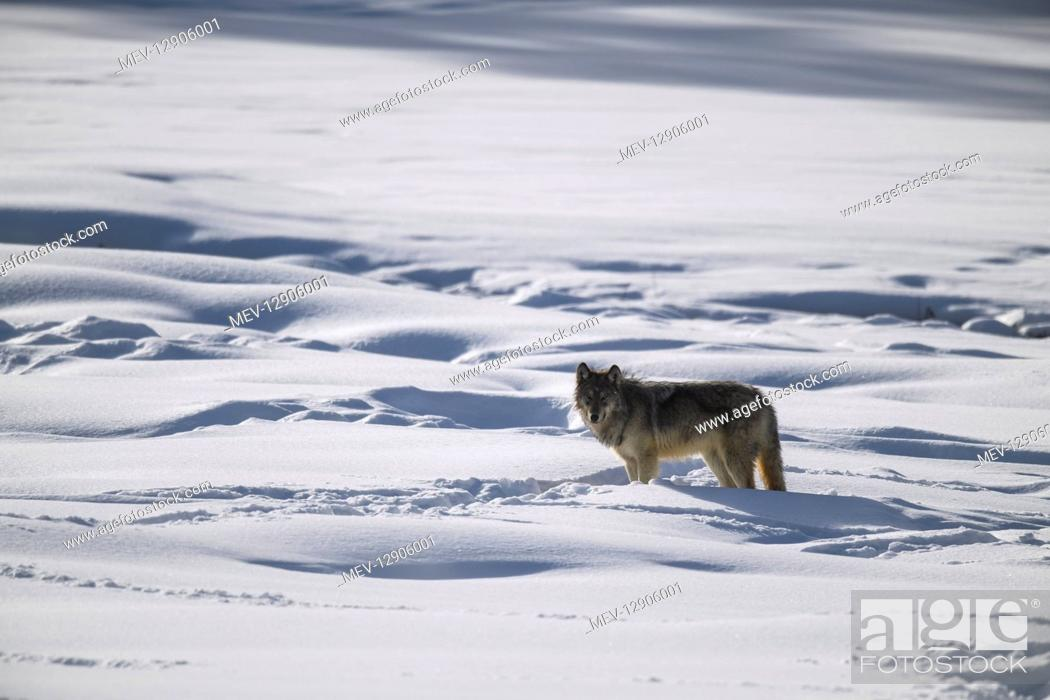 Stock Photo: Gray Wolf in the snow - Gray Wolf standing near an out of frame a bison carcus - North America Yellowstone.