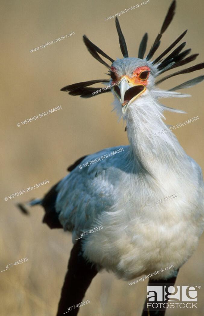 Stock Photo: Secretary Bird (Sagittarius serpentarius). Masai Mara G.R., Kenya.