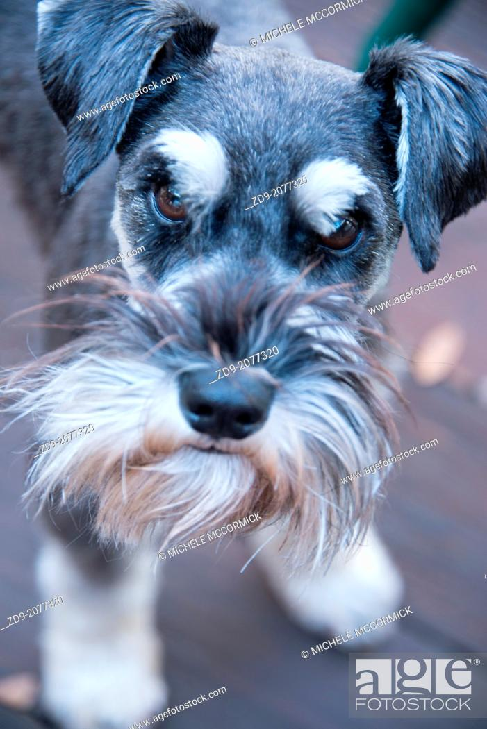 Stock Photo: A small schnauzer gazes in concern.