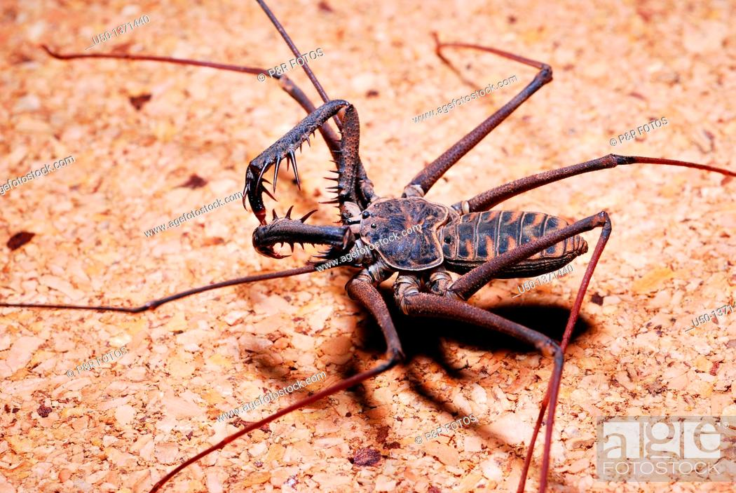 Stock Photo: Whip spider, Heterophrynus sp , Arachnida, Amblypygi, Charinidae, Acre, Brazil, 2009  Animal 39mm lenght.