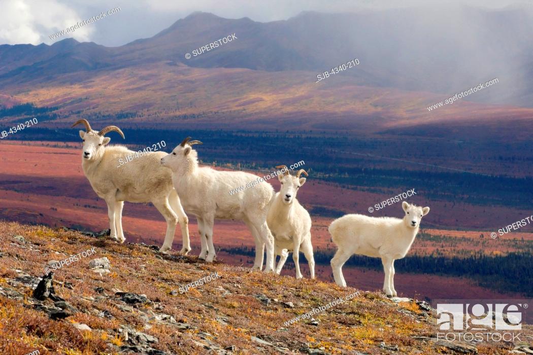 Photo de stock: Herd of Dall Sheep on Mount Margaret.