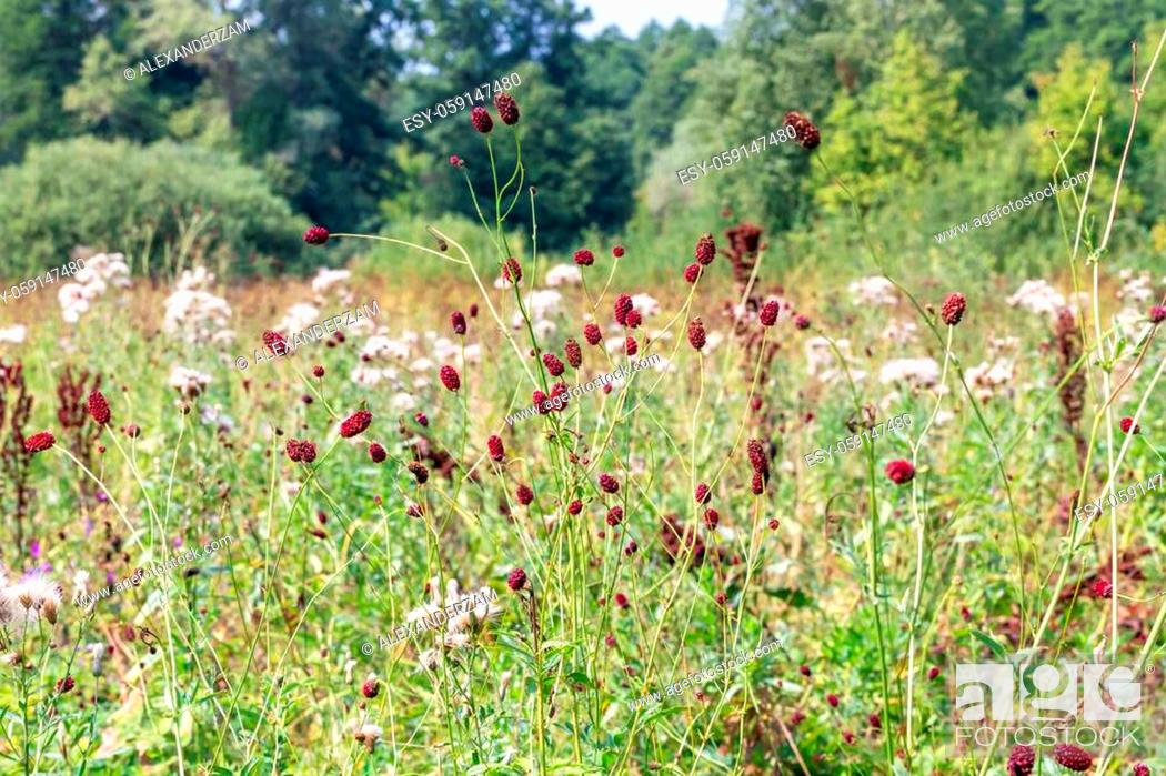 Stock Photo: Sanguisorba officinalis herbs with red inflorescences on nature landscape.