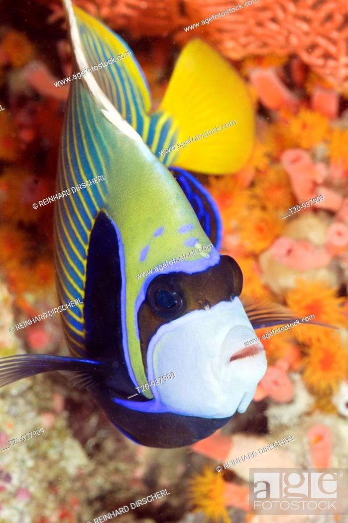 Stock Photo: Emperor Angelfish, Pomacanthus imperator, Ellaidhoo House Reef, North Ari Atoll, Maldives.