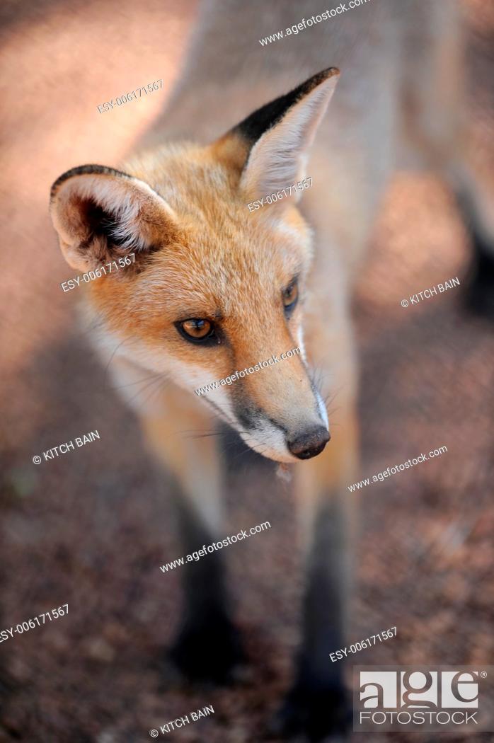 Stock Photo: A close up shot of an Australian Fox.