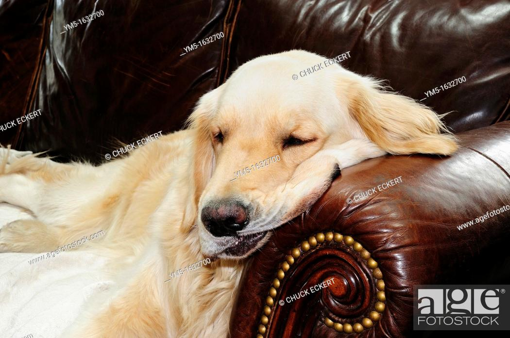 Stock Photo: English Golden Retriever napping on leather couch.