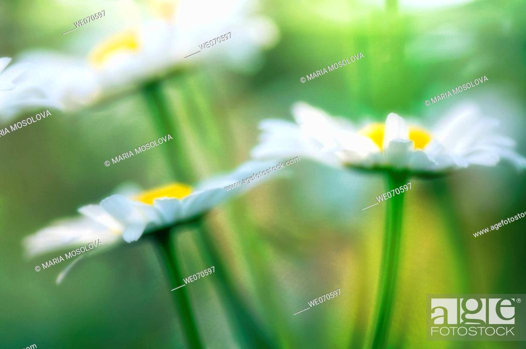 Stock Photo: Shasta Daisies. Leucanthemum x superbum May 2006. Maryland, USA.