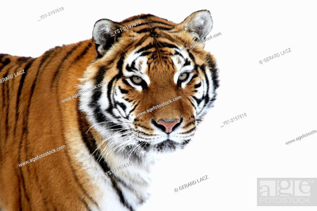 Stock Photo: Siberian Tiger, panthera tigris altaica, Portrait on Snow.