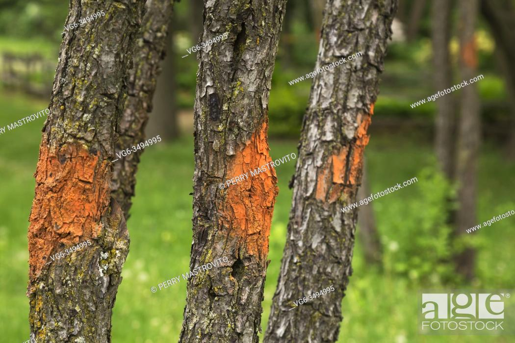Stock Photo: Deciduous tree trunks marked with sprayed orange fluorescent paint in spring.