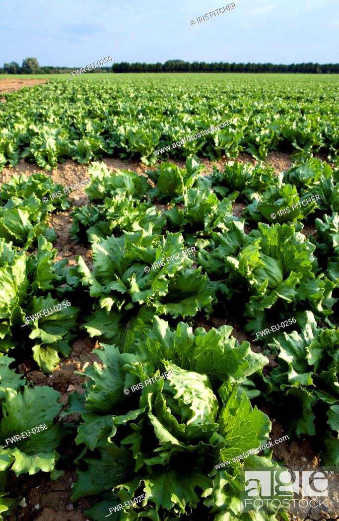 Stock Photo: Lactuca sativa cultivar, Lettuce, variety not identified, Green subject.