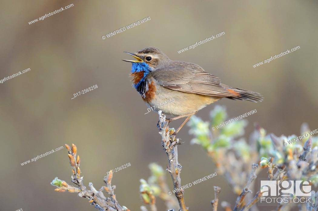 Stock Photo: Singing red-spotted bluethroat (Luscinia svecica svecica). Norway.
