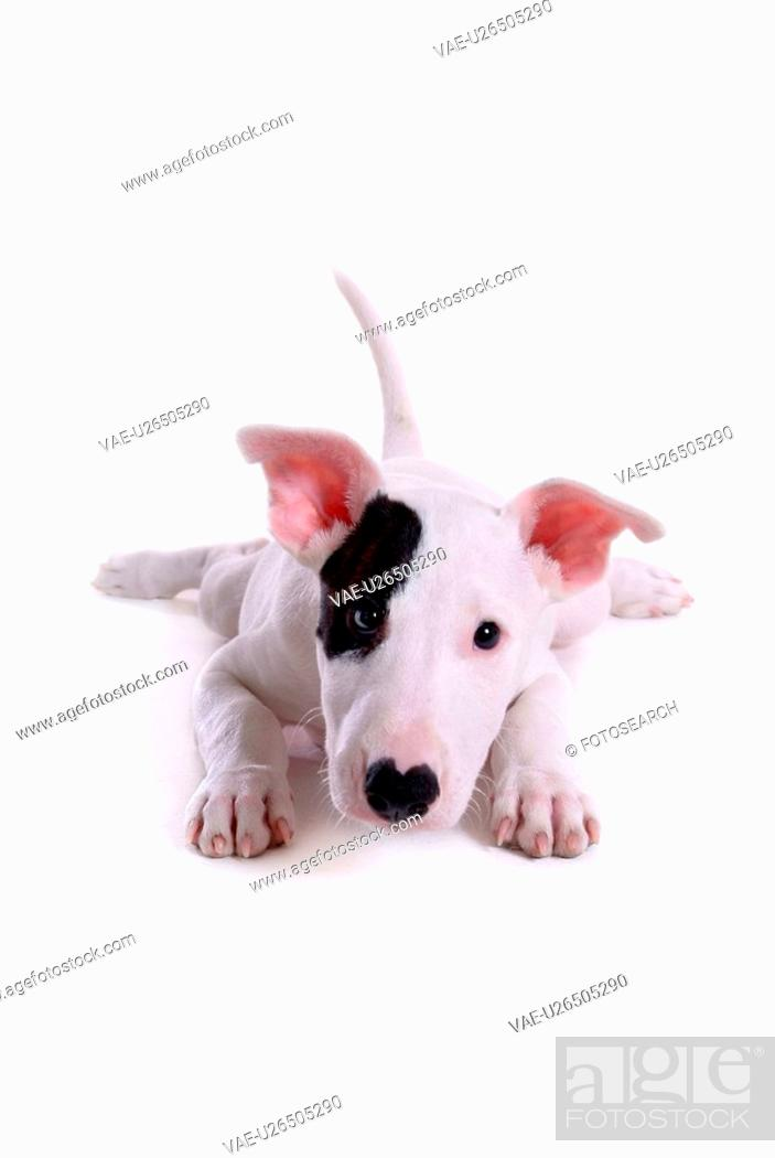 Stock Photo: pose, terrier, house pet, canines, domestic, posed, bull terrier.