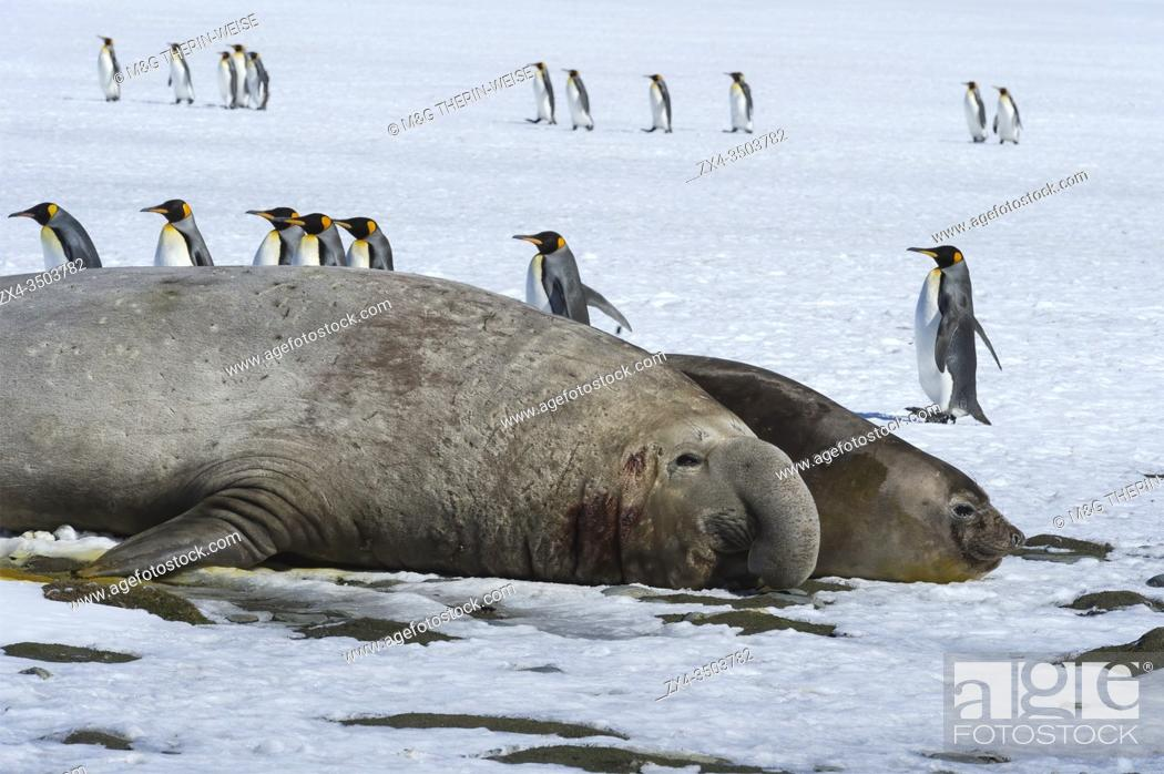 Imagen: Male Southern Elephant seal (Mirounga leonina) with female on snow, King penguins behind, Salisbury Plain, South Georgia Island, Antarctica.