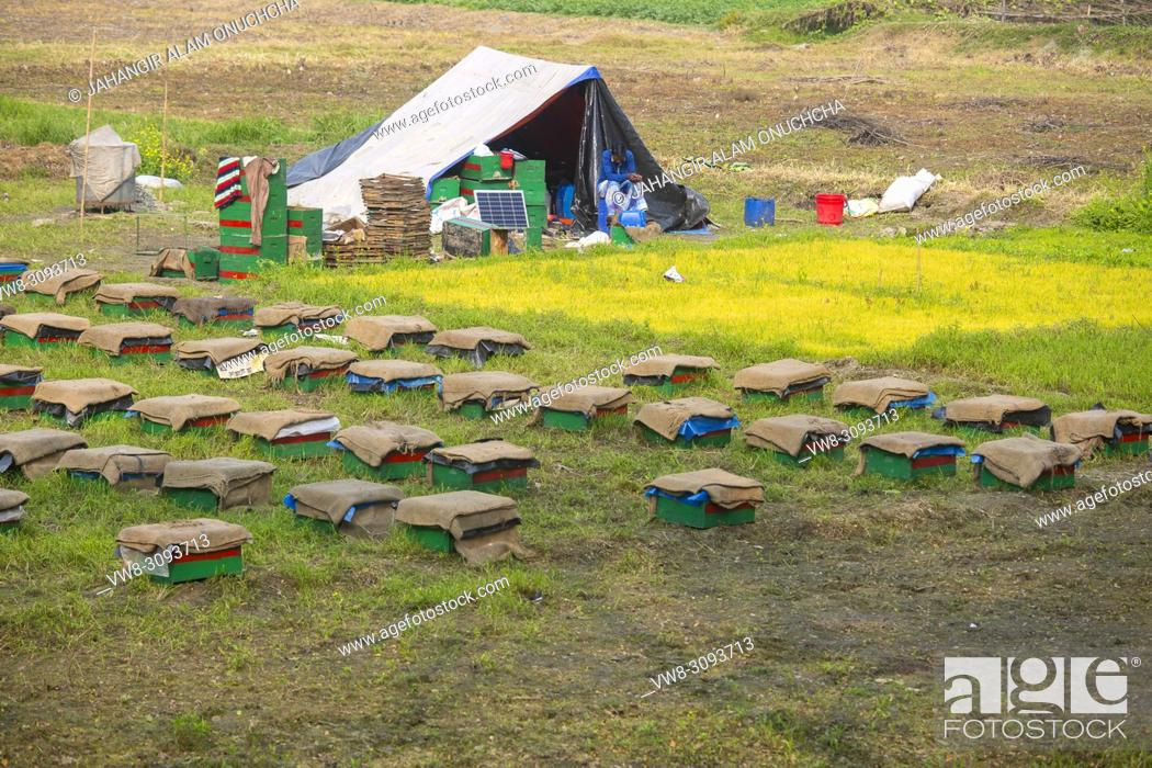 Stock Photo: Honey bees flying in and out of commercial beekeeping beehives, collecting from the Mustard Flower honey production.