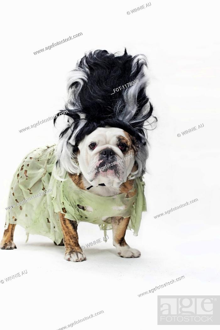 Stock Photo: An English Bulldog in costume as the bride of Frankenstein.
