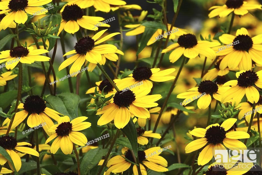 Stock Photo: A mass of black-eyed susans, Pennsylvania, USA.
