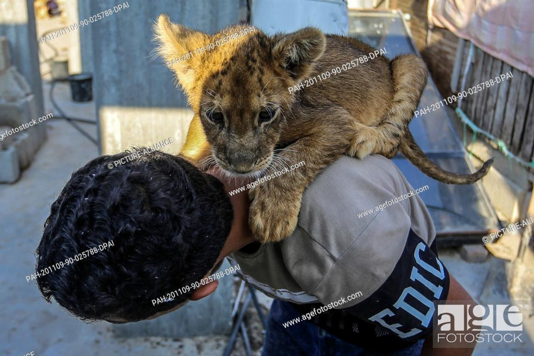 Stock Photo: 09 November 2020, Palestinian Territories, Khan Yunis: Palestinian Bassam Abu Jameh, 16, plays with a lion cub, on the roof of his house.